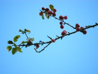 091105 West Dean cherry branch 2 for web